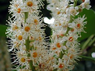 Prunus laurocerasus L. 1753 (ROSACEAE).