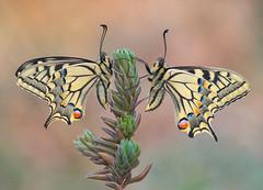 _3171771 (Masaco 76) Tags: butterfly bokeh campo closeup color bug wildlife proxy nature naturaleza ngc natura natur national naturephotography naturallight focusstacking
