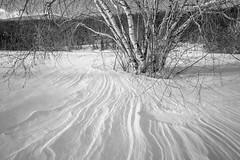 birches (jtr27) Tags: dscf3723xl2 jtr27 fuji fujifilm xe2s samyang rokinon 12mm f2 f20 wideangle ultrawide blackandwhite birch trees snow winter newhampshire nh manualfocus