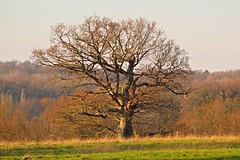 Tree (ttelyob) Tags: tree field grass sky picmonkey