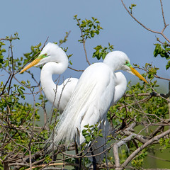 Great Egrets (Ed Sivon) Tags: america canon nature lasvegas wildlife wild western white southwest egret flickr bird great texas
