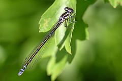 0241_damselfly (Realmantis) Tags: damselfly invertebrate macro dragonfly