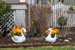 Planted Pair of Swans (ChiDN) Tags: canon canong7x2 canong7xii g7x2 g7xii goosepots kenmoreave oldirvingpark pbwa