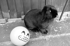 Not me honest! (daveseargeant) Tags: bunny rabbit ball cheeky medway garden rochester leica x monochrome typ 113 white black