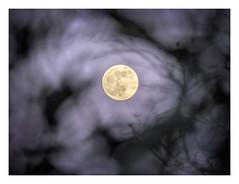 AR1900311-B (-AR-) Tags: maan moon moonrise maansopkomst rise opkomst schaduw shadow schaduwen shadows silhouette boom tree bomen trees tak branch branches avond evening schemering dusk schemer avondschemer vollemaan fullmoon silhouet takken