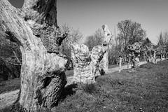 Old tree stumps (Thierry GASSELIN) Tags: d7100 nb bw monochrome arbre tree souche stump