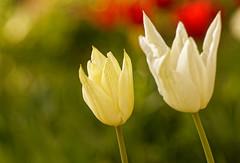 Les siamoises - The siamses (p.franche malade - Sick) Tags: nature jardin printemps pétales macro jaune duo tulipe closeup bokeh garden spring petals yellow tulip fleur flower sony sonyalpha65 dxo photolab2 bruxelles brussel brussels belgium belgique belgïe europe pfranche pascalfranche schaerbeek schaarbeek blume 花 blomst flor פרח virág bunga bláth blóm bloem kwiat цветок kvetina blomma květina ดอกไม้ hoa زهرة