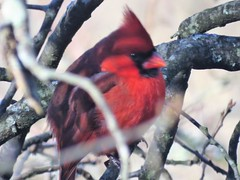 Male cardinal (JJP in CRW) Tags: cardinals birds westvirginia charleston