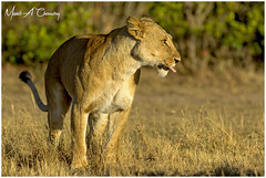 Double Cross Queen at Sunrise! (MAC's Wild Pixels) Tags: doublecrossqueensunrise lion lioness pantheraleo queenofthesavannah queenofthejungle animal mammal wildlife africanwildlife wildafrica wildanimal wildcats wildlifephotography carnivore predator hunter sunrise goldenhour goldenlight goldenpussy safari gamedrive beautifulcat beautifulpussy outdoors outofafrica nature naturephotography bigpussycat bigfive cat masaimara maasaimaragamereserve kenya macswildpixels coth alittlebeauty natureinfocusgroup coth5 ngc npc