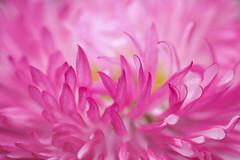 ébouriffée (christophe.laigle) Tags: rose christophelaigle fleur macro nature flower fuji xpro2 xf60mm pink coth