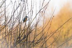 Le pêcheur discret (Fabien Legagneur) Tags: oiseau bird birds martinpêcheur plumes fabienlegagneur canon eos80d canon80d canonfrance nature réservenaturelle maraisdeguines marais arbre