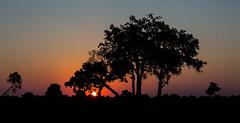 Sunset Silhouette (Thomas Retterath) Tags: mapula afrika africa botswana okavangodelta 2018 safari nopeople natur nature wildlife baum tree himmel sky horizont horizon sundown sonnenuntergang sunset