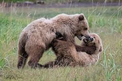 _HB30316 (Hilary Bralove) Tags: lakeclarknationalparkbrownbearsbearsalaskanikonwildlifegrizzlygrizzlybearbrownbearanimalswildlifephotographer alaksa brownbears grizzlybears bear bears grizzly brownbeargrizzly bearlake clarkwildlifealaska wildlifenikonlake clark national park