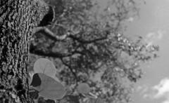 Big Oak of Hypoluxo (PositiveAboutNegatives) Tags: leica leitz leicar leicaflexsl 35mmelmarit film analog foma fomapan fomapan100 bw blackandwhite bokeh tree oak ordinal coolscan