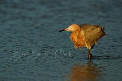 Reddish Egret (Beve Brown-Clark) Tags: waterfowl wildlife winter reddishegret egret nature shorebird morninglight