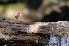 Troglodyte mignon-Troglodytes troglodytes (PatNik01) Tags: troglodytemignon troglodytestroglodytes oiseau rivière eau parade france bugey nikon bird arbre