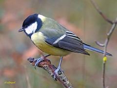 Carbonero común (Parus major) (15) (eb3alfmiguel) Tags: pájaros passeriformes insectívoros paridae carbonero común parus major