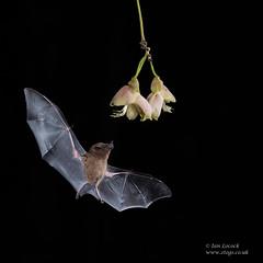 Pallas' Long-tongued Bat (Ian Locock Photography) Tags: 2018 bat costarica lagunadellagarto mammals pallaslongtonguedbat