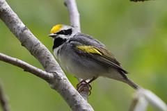 Golden-Winged Warbler (Gf220warbler) Tags: canon 7dmk2 minnesota warbler