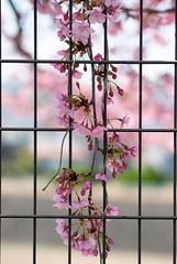 hanging down on the fence (kasa51) Tags: cherryblossom flower blossom bud earlyblooming yokohama japan さくら サクラ 桜 早咲き 河津系