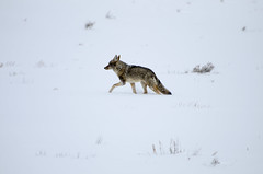 _DW64833.jpg (Upstate Dave) Tags: 2018 majorplaces mammals coyote lamarvalley dog yellowstone geographicname places yellowstonenationalpark