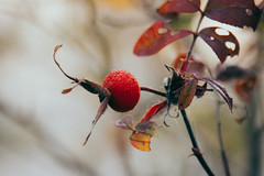Live Without A Doubt (davelawrence8) Tags: commute macro michigan nature winter usa red berry