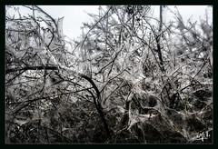 2ème jour / 2nd day - Prunelliers vampirisés / Vampirized blackthorns (christian_lemale) Tags: velay nature prunellier cocons blackthorn cocoons france nikon d71000 sloe