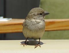 Sparrow Company! ('cosmicgirl1960' NEW CANON CAMERA) Tags: marbella spain espana costadelsol andalusia travel holidays yabbadabbadoo