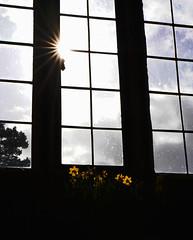 Shine a light (franzbun) Tags: window daffodil