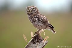 Civetta _009 (Rolando CRINITI) Tags: civetta uccelli uccello birds avifauna rapaci rapacinotturni castellapertole natura