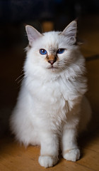 Abraxas, Birman Cat (Konshtintin) Tags: birman cat abraxas salem lovely cute white chocolate tabby point