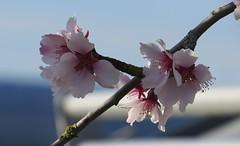 Mandelblüte im Weinberg Mitte März / blossoms of almonds in the vineyard (thobern1) Tags: mandel mandelbaum almond amonde mandorla keltern dietlingen klepberg enzkreis badenwürttemberg