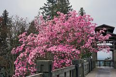 UBC Botanical Garden 卑詩大學植物園 (syue2k) Tags: british columbia 不列顛哥倫比亞省 canada vancouver 温哥華 ubc botanical garden 卑詩大學植物園