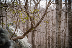 A Young Tree Growing Out of Solid Rock (John Brighenti) Tags: outdoors outside nature rachel carson conservation park woods forest montgomery county alone solitude hiking trail recreation out spring weather air sky hills rock formation growth young leaves sticks branches bokeh perseverance persistence moxy spunk underdog tree trees trunks bark sony alpha a7rii ilce7rm2 nex ilce emount femount tamron 2885mm zoom wide lens