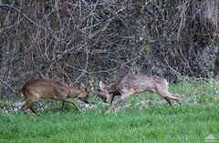 Roe Buck Deer Fighting (Xena*best friend*) Tags: roe roedeer roebuckdeer roebuckdeerfighting chevreuil capriolo mäti cerf chevreau hjort hert ree cervos hirsch milch rehreh rehbock hueva veado wheatplantation europeanroedeer capreoluscapreolus animals canoneos760d digitalrebelt6s flickr canonef70300mm nature piedmontitaly piemonte rådy