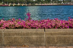 Bougainvillea blossoms by the lake in Benjakiti Park, Bangkok, Thailand (UweBKK (α 77 on )) Tags: bougainvillea blossom flower flora pink purple blue lake water wall stone park garden benjakiti bangkok thailand southeast asia sony alpha 77 slt dslr bugambilia