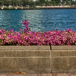 Bougainvillea blossoms by the lake in Benjakiti Park, Bangkok, Thailand thumbnail