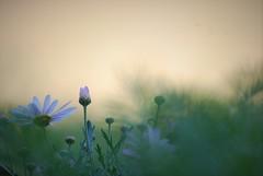 Anthémis (danielled61) Tags: flower garden vert nuage vaporeux marguerite rose printemps macro dreams