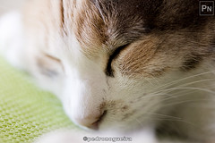 ...and another nap (Pedro Nogueira Photography) Tags: pedronogueiraphotography pedronogueira photography animal cat gato doméstico domestic kitty kittens pets pet p'eta
