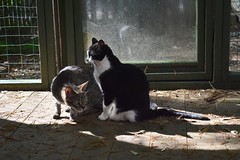 Cousin (M) & Tina (F) in the cat enclosure (rootcrop54) Tags: cousin male mackerel tabby striped cat tina tuxedo female cats catenclosure catio neko macska kedi 猫 kočka kissa γάτα köttur kucing gatto 고양이 kaķis katė katt katze katzen kot кошка mačka gatos maček kitteh chat ネコ