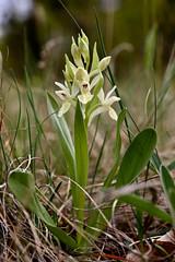 Dactylorhiza sambucina (HorvathZsolt73) Tags: orchidea orchid orhidea kosbor bodzaszagú ujjaskosbor pismány natura nature conservation természet természetvédelem
