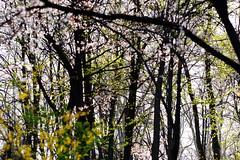 1PRO_2278 (Radu Pavel) Tags: radu radupavel pavel fotononstop cosmos ©radupavelallrightsreserved ©radupavelallerechtevorbehalten ©radupaveltodoslosderechosreservados ©radupavel版権所有 landscape landschaft paisaje 風景 nature natur naturaleza 自然 colours farben colores 色 tree baum árbol 木 leaves blätter hojas 葉 outdoor alairelibre imfreien ルーマニア world welt mundo 世界 light licht luz 光 spring frühling primavera 春 2019 dream traum sueño 夢