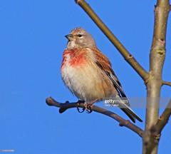 Linnet male (Gary Chalker, Thanks for over 4,000,000. views) Tags: linnet bird male pentax pentaxk3ii k3ii pentaxfa600mmf4edif fa600mmf4edif fa600mm 600mm