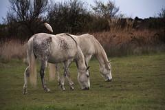 Western Cattle Egret (JLM62380) Tags: cheval light white blanc camargue france nature chevaux horse saintesmariesdelamer animal ciel arbre champ éron gardeboeufs bubulcus ibis hérongardeboeufs bubulcusibis westerncattleegret