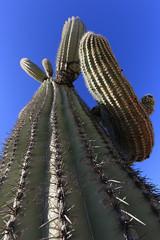Arizona - Organ Pipe Cactus National Monument (Michael.Kemper) Tags: canon eos 6 d 6d ef 1635 16 35 f4 f 4 l is usm voyage travel travelling reise vacation urlaub usa us united states america vereinigte staaten von amerika american southwest amerikanischer südwesten arizona az organ pipe cactus national monument ajo mountain drive saguaro kaktus kaktee sonoran desert wüste mountains unesco