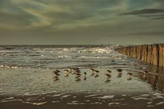 oostkapelle (Omroep Zeeland) Tags: oostkapelle strand zeeland vogels zee branding