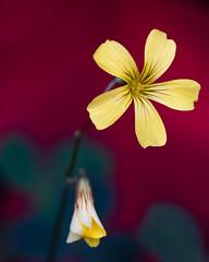 Name the flower, please! (Gene Mordaunt) Tags: flower yellow 5petals toronto ontario allangardens nikon810