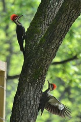 2018 05 20 117 Back country, WV (Mark Baker.) Tags: 2018 america baker braxton county mark may north us usa virginia wv west bird day outdoor photo photograph picsmark pileated rural spring states united wildlife woodpecker