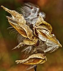 Nature's Art - Milkweed Pods (Bob's Digital Eye 2) Tags: autumn autumncolour bobsdigitaleye bobsdigitaleye2 canon canonefs55250mmf456isstm flicker flickr milkweed organictexture outdoor plant seedpod seeds t3i