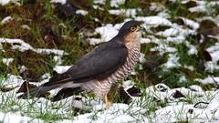 DSC_7725 Épervier dans la neige (sylvettet) Tags: animal oiseau rapace 2019 neige épervierdeurope bird snow sparrowhawk accipiternisus
